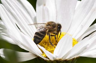 abeja cosmetica