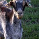 Carreras de Cabras en Uganda