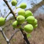 Dieta de la pera